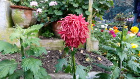 Samotny czerwonawy menchia kwiat Fotografia Stock