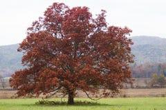 Samotny Czerwony drzewo obrazy stock