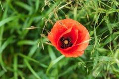 Samotny czerwony maczek na lato zieleni łące Otwiera kwiatów płatki Naturalni leki obrazy royalty free