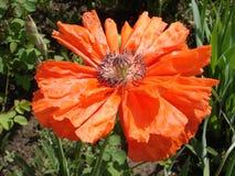 Samotny czerwony makowy kwiat w słonecznym dniu Zdjęcie Stock