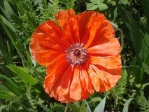 Samotny czerwony makowy kwiat w słonecznym dniu Zdjęcia Stock