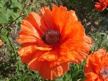 Samotny czerwony makowy kwiat z pszczołą w słonecznym dniu Fotografia Royalty Free