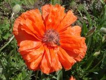 Samotny czerwony makowy kwiat z pszczołą w słonecznym dniu Obrazy Royalty Free