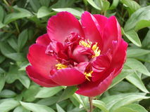 Samotny czerwony peonia kwiat 'łódeczka' Obraz Stock