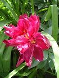 Samotny czerwony peonia kwiat 'łódeczka' Fotografia Stock