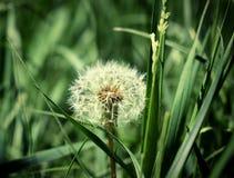 Samotny dandelion w polu, Piękny tło wizerunek w dobrym szczególe Fotografia Royalty Free