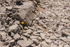 Samotny Dandelion w polu skały Zdjęcie Stock