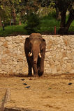 Samotny słoń dla spaceru. Fotografia Stock