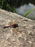 Samotny dragonfly Zdjęcie Stock
