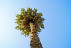 Samotny drzewko palmowe na niebieskiego nieba tle Fotografia Royalty Free