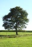 samotny drzewo Fotografia Stock