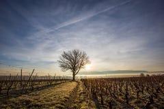 Samotny drzewo III i winnica Obrazy Stock