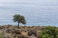 Samotny drzewo oliwne morzem obraz stock