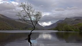 Samotny drzewo przy Llanberis, Snowdonia park narodowy - Walia, Zjednoczone Królestwo zdjęcie wideo