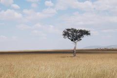 Samotny drzewo przy Masai Mara zdjęcia royalty free