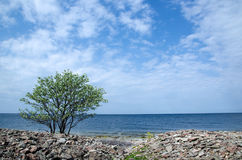 Samotny drzewo przy wybrzeżem Fotografia Royalty Free
