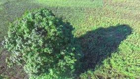 Samotny drzewo w polach zbiory wideo