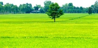 Samotny drzewo w ryżowych polach zdjęcia royalty free