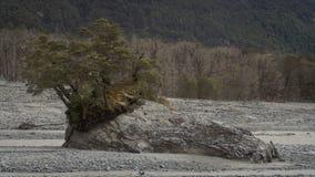 Samotny drzewo w suchym riverbed obraz royalty free