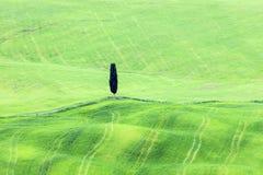 Samotny drzewo w Tuscany Obraz Royalty Free