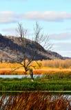 Samotny drzewo w Vertical Nowy Albin, Iowa - spadek w Górnym Mississippi schronieniu - Obrazy Stock