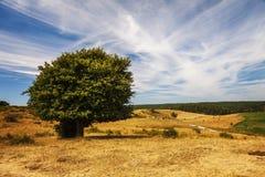 Samotny drzewo w wiejskim krajobrazie obraz royalty free