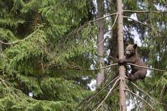 Samotny dziecko niedźwiedź w drzewie Obraz Royalty Free
