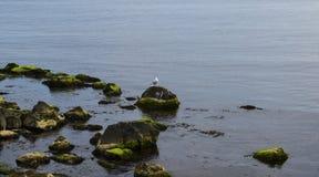 Samotny frajer na kamieniu zdjęcie stock