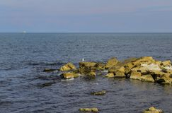 Samotny frajer na kamieniu zdjęcia stock