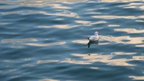 Samotny frajer pływa w morzu zdjęcie wideo