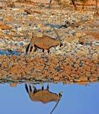 Samotny Gemsbok Oryx odprowadzenie za waterhole z uroczym odbiciem i miękki światło w Etosha parku narodowym, Namibia fotografia stock