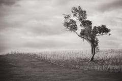 Samotny Gumowy drzewo zdjęcie stock