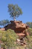 Samotny Gumowy drzewo na Skalistym wychodzie Obraz Stock