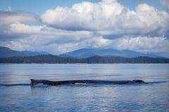 Samotny Humpback wieloryb w Alaska Zdjęcia Royalty Free