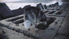 Samotny husky pies chodzi morzem w burzy przy zmierzchem Przegrany zwierzę domowe swobodny ruch zbiory