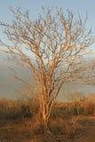 samotny ilustracyjny sunset drzewa wektora Obraz Royalty Free