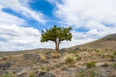 Samotny jałowcowy drzewo w skalistej zachodniej pustyni Utah obrazy stock
