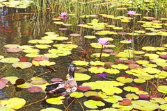Samotny kaczki dopłynięcie w stawie obraz stock