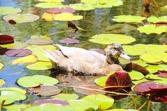 Samotny kaczki dopłynięcie w stawie fotografia royalty free