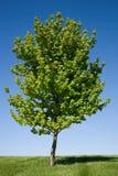 samotny klonowy drzewo Zdjęcia Royalty Free