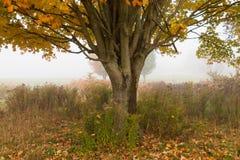 Samotny klonowy drzewo podczas spadku ulistnienia, Stowe Vermont, usa obraz stock
