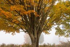 Samotny klonowy drzewo podczas spadku ulistnienia, Stowe Vermont, usa zdjęcie stock