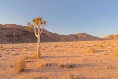 Samotny kołczanu drzewo Fotografia Royalty Free