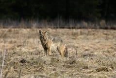 Samotny kojot w łące fotografia royalty free