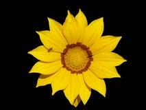 Samotny kolor żółty z pomarańczowym lampasa gazania kwiatem z mrówką na bla Zdjęcia Royalty Free