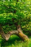 Samotny kręcony drzewo Zdjęcie Royalty Free