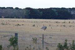 Samotny krowy pasanie w australijczyka gospodarstwie rolnym fotografia stock