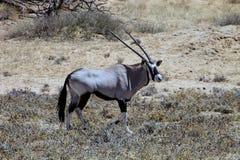Samotny męski Gemsbok, Oryx gazela Kalahari obraz royalty free