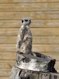 Samotny Meerkat Obrazy Stock