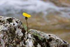 samotny mniszek Fotografia Stock